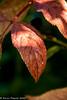 1-Dec-20 Red Leaf