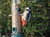 4-Apr-20 Great Spotted Woodpecker