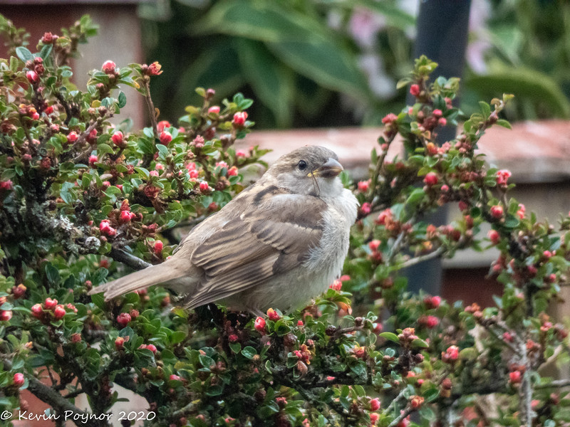 18-May-20 Fledgling House Sparrow (Passer domesticus)