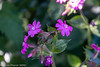 12-May-20 Red Campion in Bloom