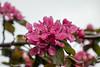 1-May-20 Plum Blossom