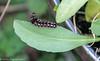 2-Dec-20 Brown-tailed Moth Caterpillar
