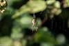 24-Nov-20 Garden Spider