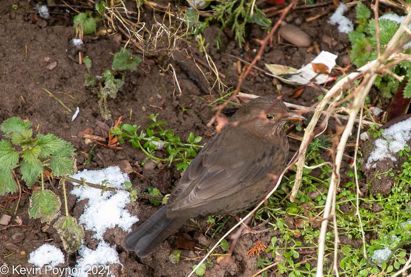 15-Feb-21 Female Blackbird (Turdus merula)