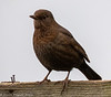21-Jan-21 Female Blackbird ( Turdus merula)
