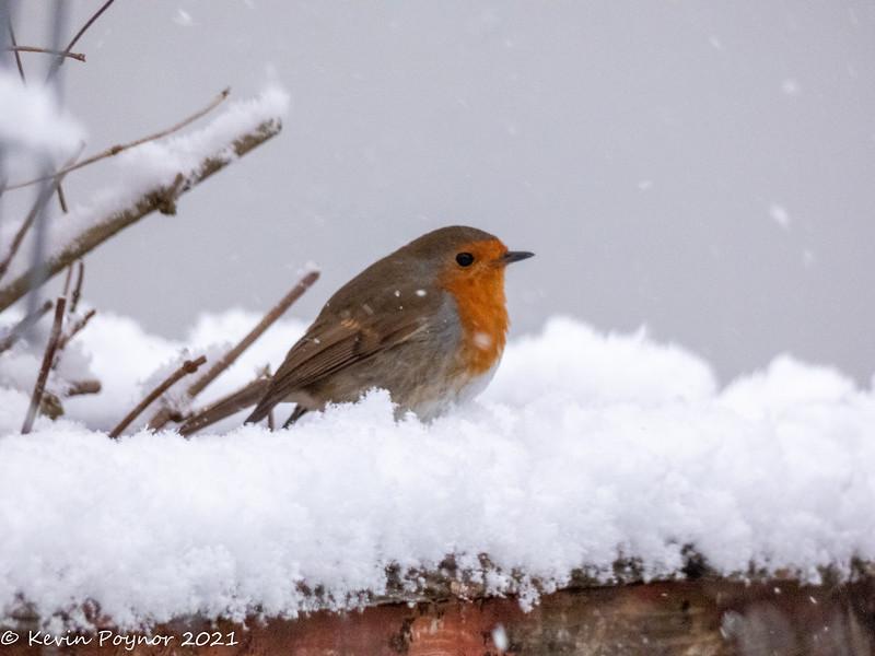 3-Feb-21 Robin (Erithacus rubecula)