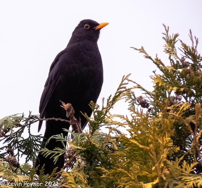 25=Feb-21 Blackbird (Turdus Merula)