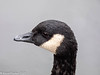 10-Sep-21 Canada Goose ( Branta canadensis) Portrait