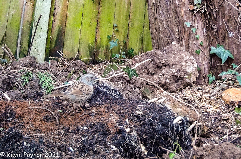 10-Mar-21 Hedge Accentor / Dunnock (Prunella modularis)