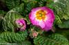 26-Feb-21 Polyanthus