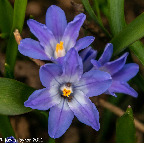27-Mar-21 Yesterday's buds in bloom. Glory in the Snow (Chionodoxa luciliae)