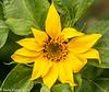 28-Jul-21 Sunshine in a bloom. Sunflower.