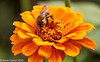 1-Sep-21 Bee on Zinnia