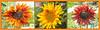 3-Aug-21 Sunflower Triptych.