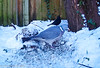 19-Feb-21 Blackbird (Turdus Merula) and Wood Pigeon (Columba palumbus)
