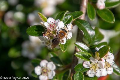 20-Jun-21 Bee on Cotoneaster
