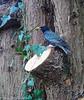 9-Feb-21 Starling (Sturnus vulgaris)
