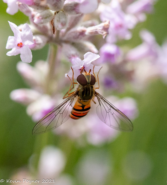 19-Jan-21 Hoverfly on Lavender