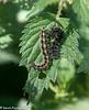 29-Jul-21 Small Tortoiseshell Caterpillar on nettle leaves.