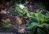 11-Feb-20 Song Thrush (Turdus philomelos)