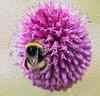 27-Jul-21 Bumblebee on Allium in Photoshop Oil.