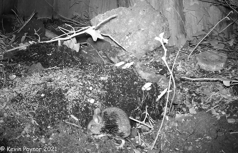 9-Mar-21 Wood Mouse (Apodemus sylvaticus) Infrared