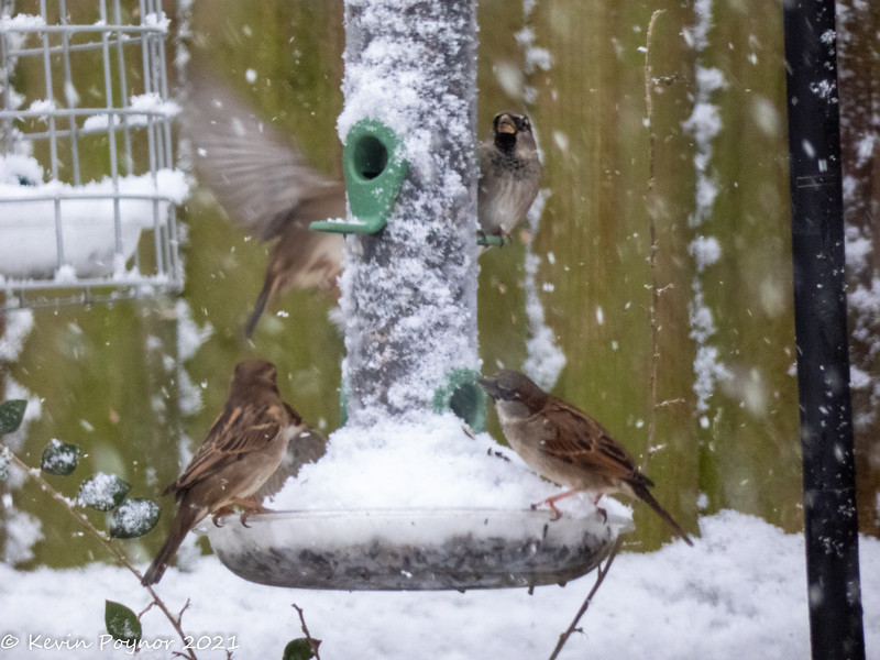 30-Jan-21 House Sparrows (Passer Domesticus) on seed feeder.