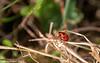 31-Mar-21 Seven-spot Ladybird (Coccinella septempunctata)