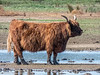 9-Oct-21 Highland Cattle.