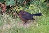 30-Jul-21 Juvenile Blackbird (Turdus merula)