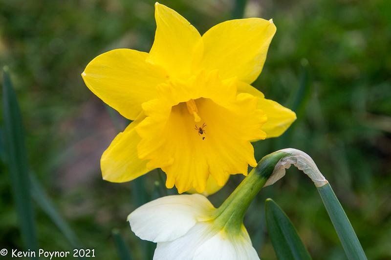 7-Apr-21 Daffodil and friend.