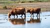 25-Sep-21 Highland Cattle