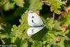 31-Jul-21 Large White Butterfly (Pieris brassicae)