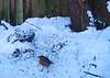 29-Jan-21 Robin (Erithacus rubecula)