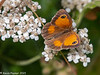 4-Aug-21 Gatekeeper Butterfly (Pyronia tithonus)