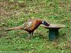 20-Oct-21 Pheasant (Phasianus colchicus)