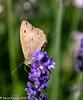 19-Jul-21 Gatekeeper Butterfly (Pyronia tithonus) on Lavender