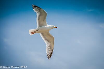 24-Aug-15 Herring Gull in Flight