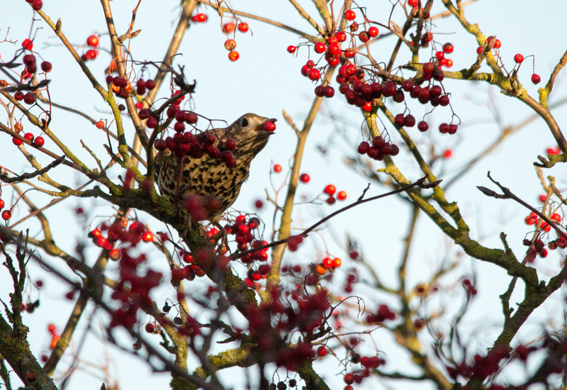 Song Thrush caught in the act