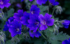 23-Jun-13<br /> <br /> Meadow Cranesbill (Geranium Pratense)