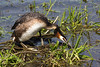 9-May-13  Great Crested Grebe (Podiceps cristatus) nest building.  Morning All, another day, another picture. Thanks to everyone for their nice comments on all of this months posts, particular the last couple of days when I've had my own personal doubts over the quality of the images.