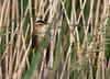5-Jul-13<br /> <br /> Sedge Warbler (Acrocephalus schoenobaenus) in it's natural habitat of reed bed.