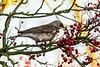 17-12-13 - Fieldfare (Turdus Pilaris) on Mountain Ash (Rowan) Tree.