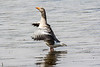 14-May-13<br /> <br /> Time for a stretch - Greylag Goose