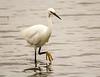 10-Jul-13<br /> <br /> Little Egret