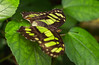 13-Oct-12<br /> <br /> Malachite Butterfly
