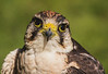 New month, new folder.<br /> <br /> Another head & shoulders from the English School of Falconry
