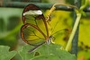 9-Oct-12  Glasswinged Butterfly (Greta Oto)