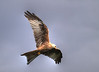14-Sep-12<br /> <br /> Red Kite (Milvus Milvus) photographed at Gigrin Farm Feeding Station.