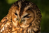15-Sep-12<br /> <br /> Tawny Owl in captivity at British School of Falconry, Old Warden.